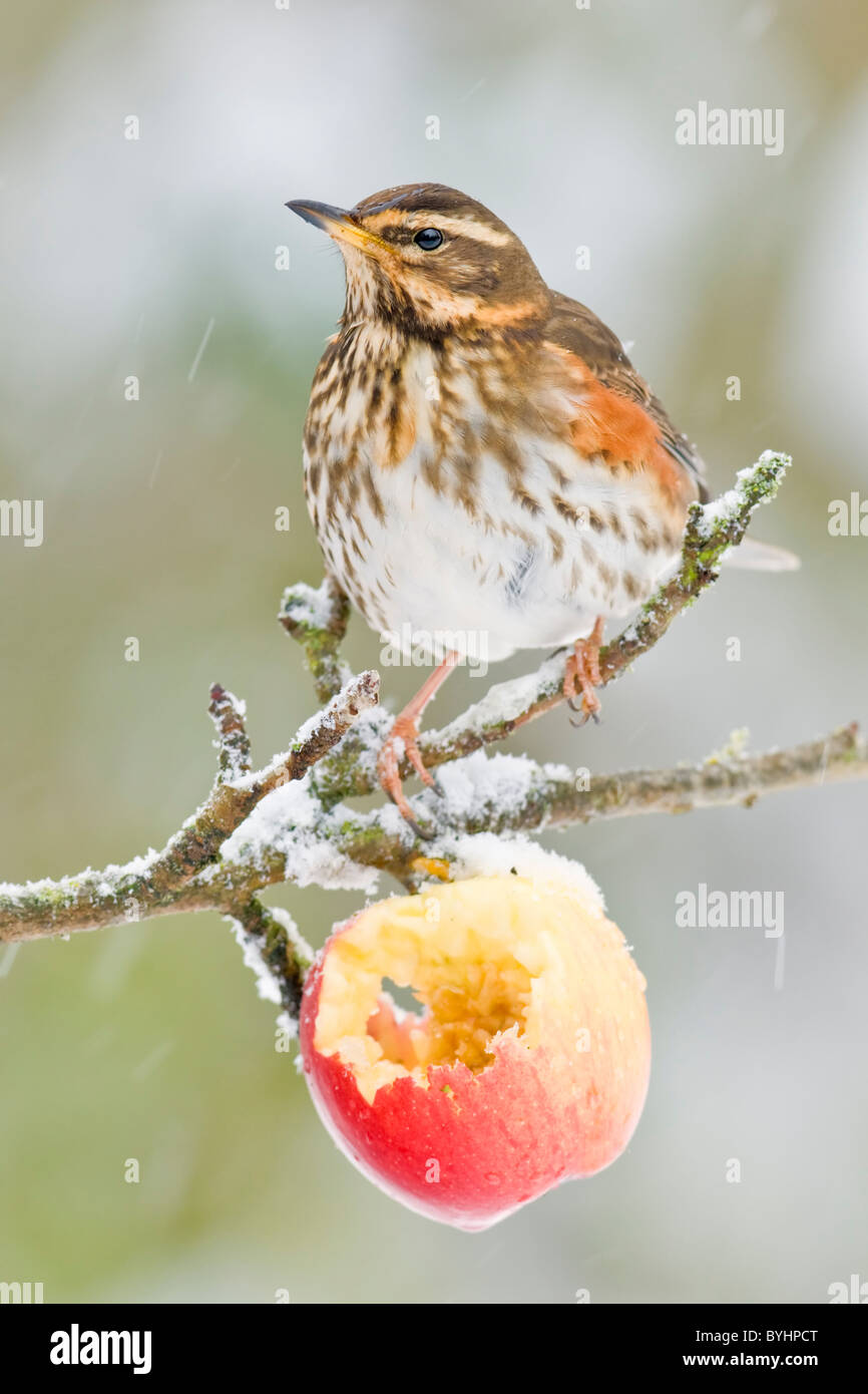 Redwing perched in apple tree - Stock Image