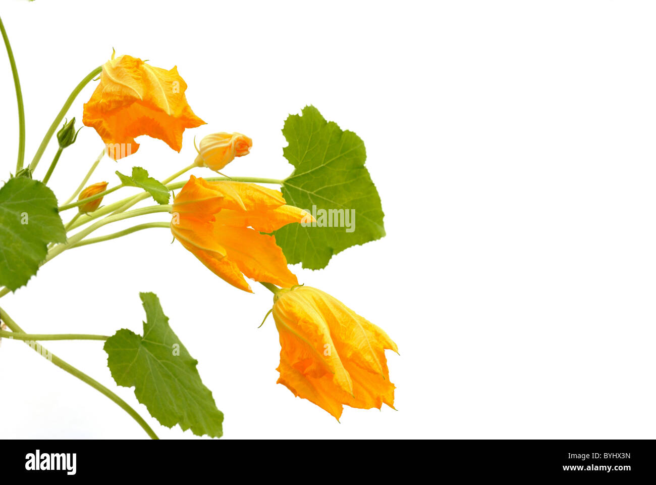 Squash flower and leaves isolated on white stock photo 34199753 alamy squash flower and leaves isolated on white mightylinksfo