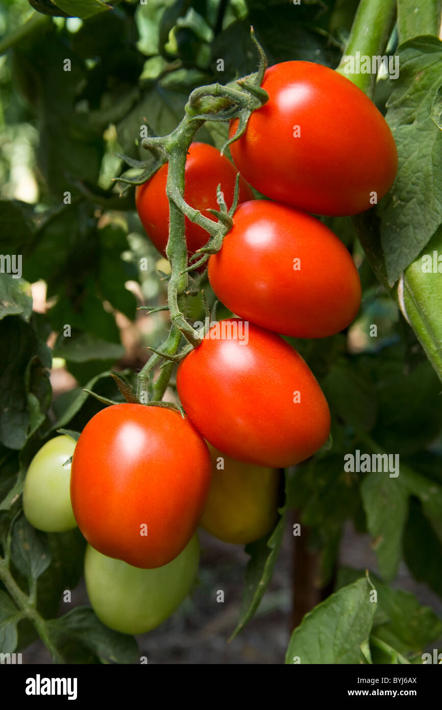 When do tomatoes mature