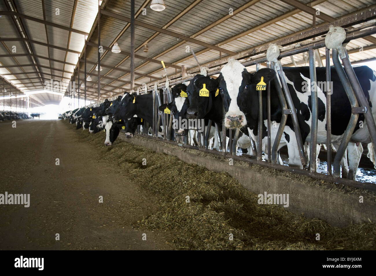 Curious Holstein Dairy Cows Feed On Silage In A Freestall Barn At Large California San Joaquin Valley USA