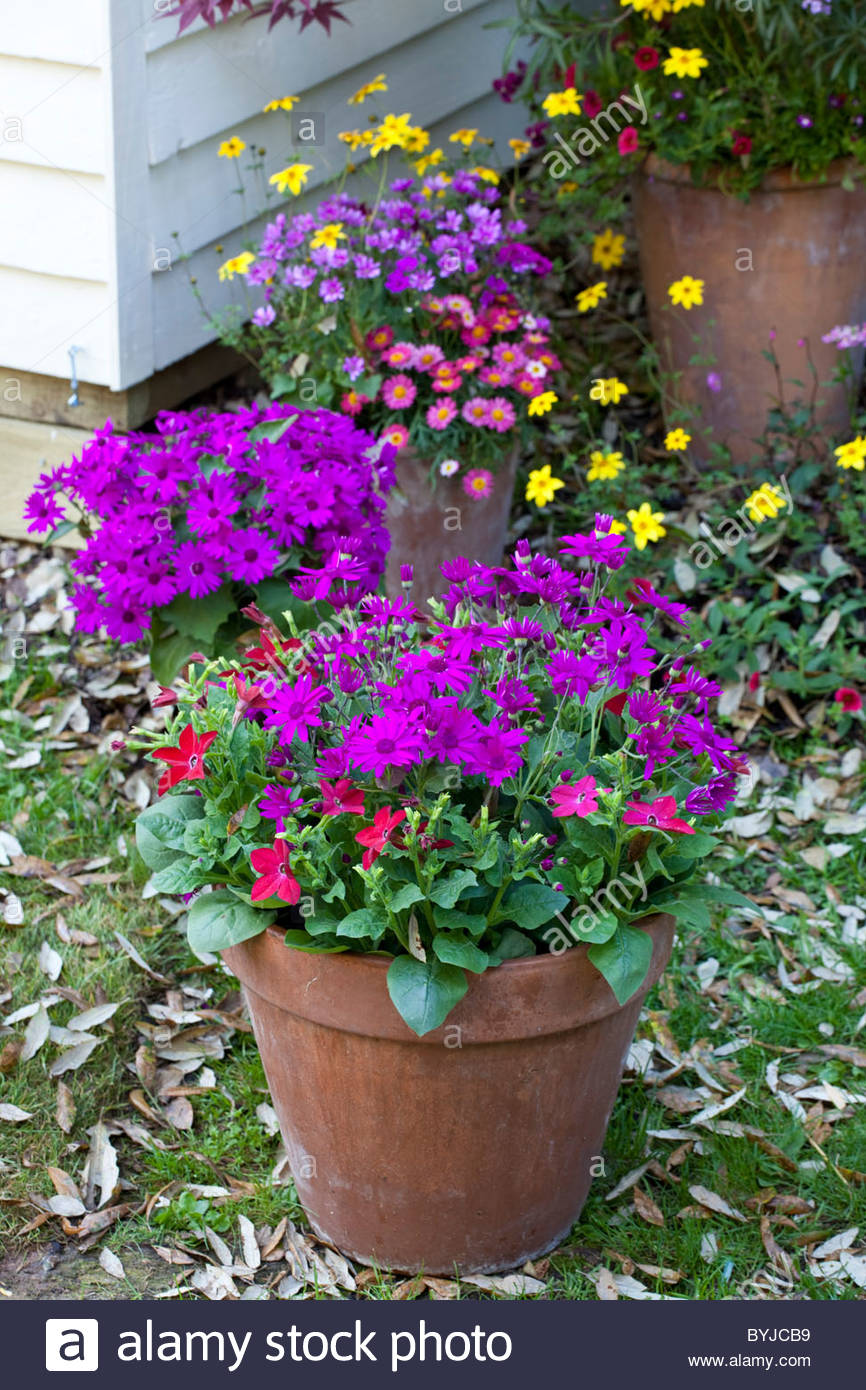 Summer Containers Pots Of Colourful Flowers Osteospermum