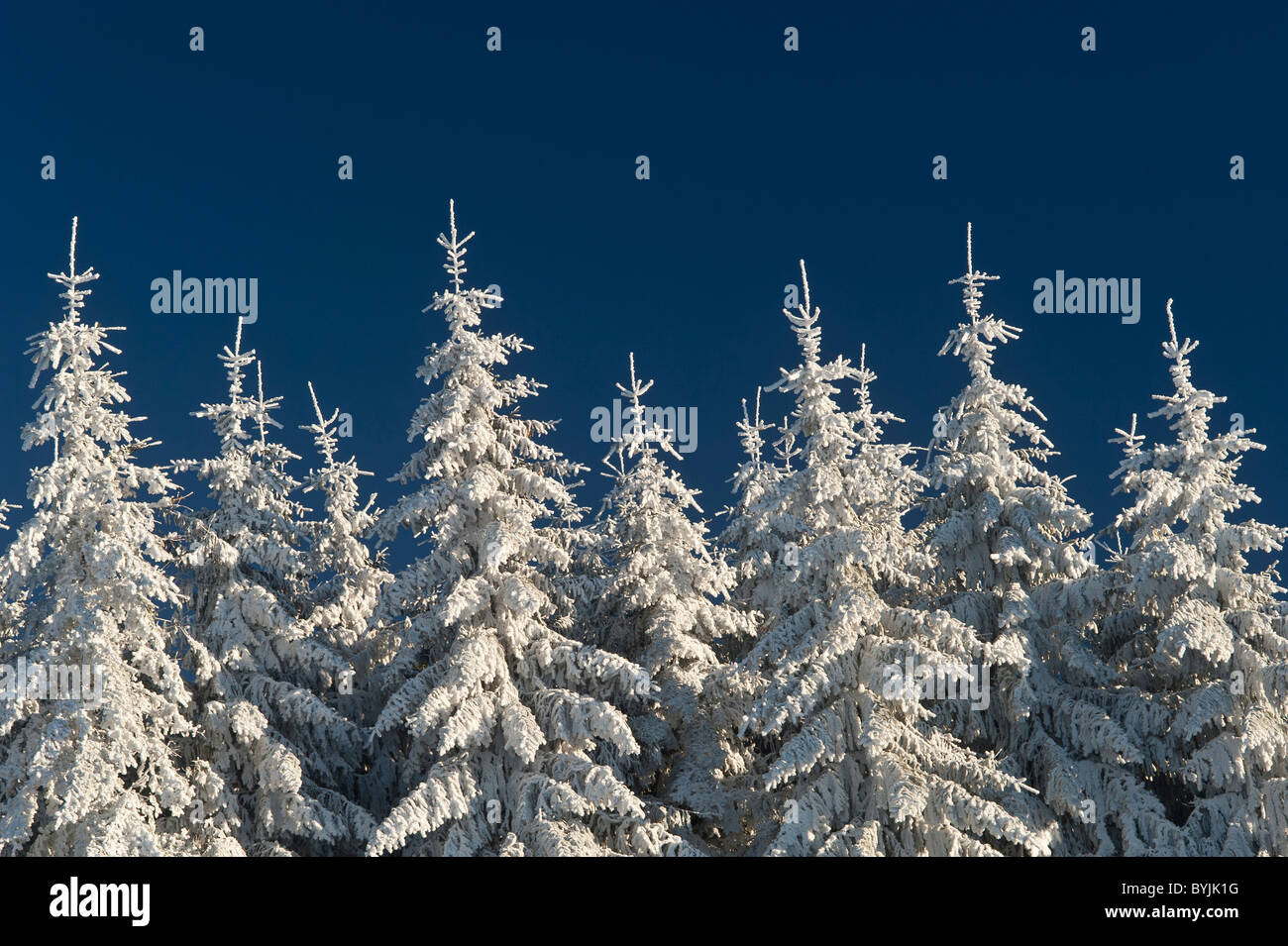 Snow on  fir trees France - Stock Image
