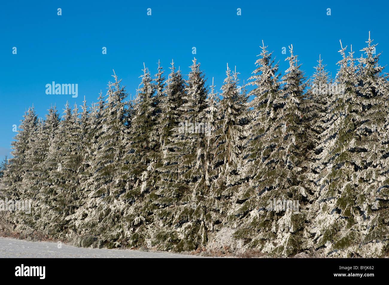 Snow on  fir trees, Puy-de-Dôme, Auvergne, France - Stock Image