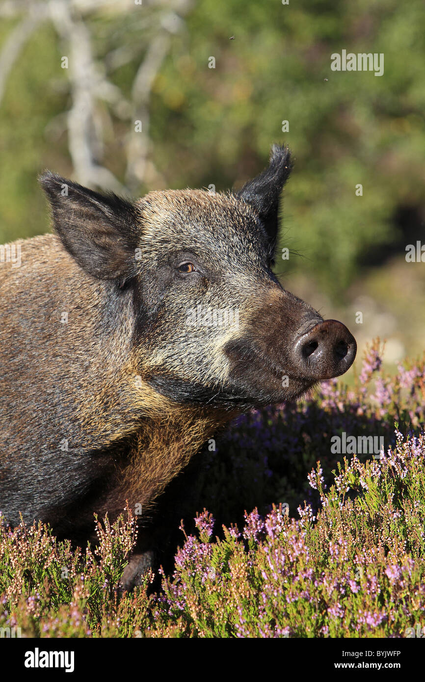 Wild Boar (Sus scrofa) standing in flowering heather. Highland Wildlife Park, Scotland. - Stock Image