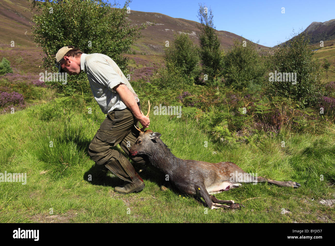 Sika Deer (Cervus nippon). Hunter with dead stag in a private property in the Scottish highlands, Scotland. - Stock Image