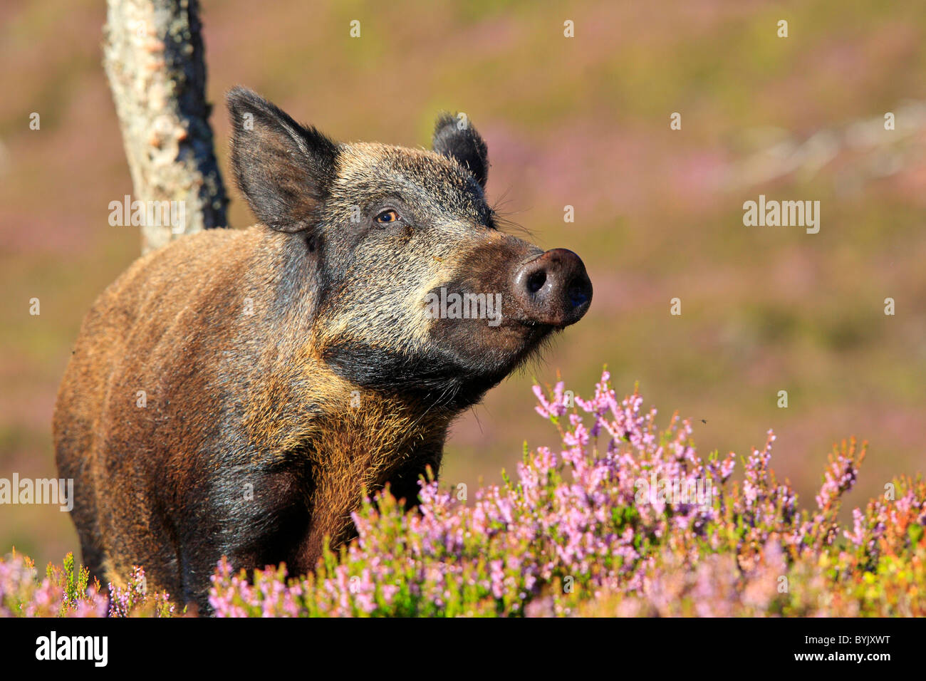 Wild Boar (Sus scrofa) standing in flowering heather. Highland Wildlife Park, Scotland. Stock Photo