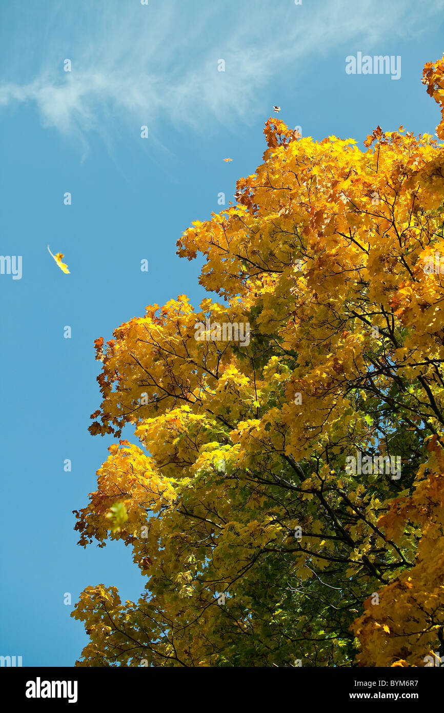 Warm colors of autumn. Yellow leaves covering a tree. - Stock Image