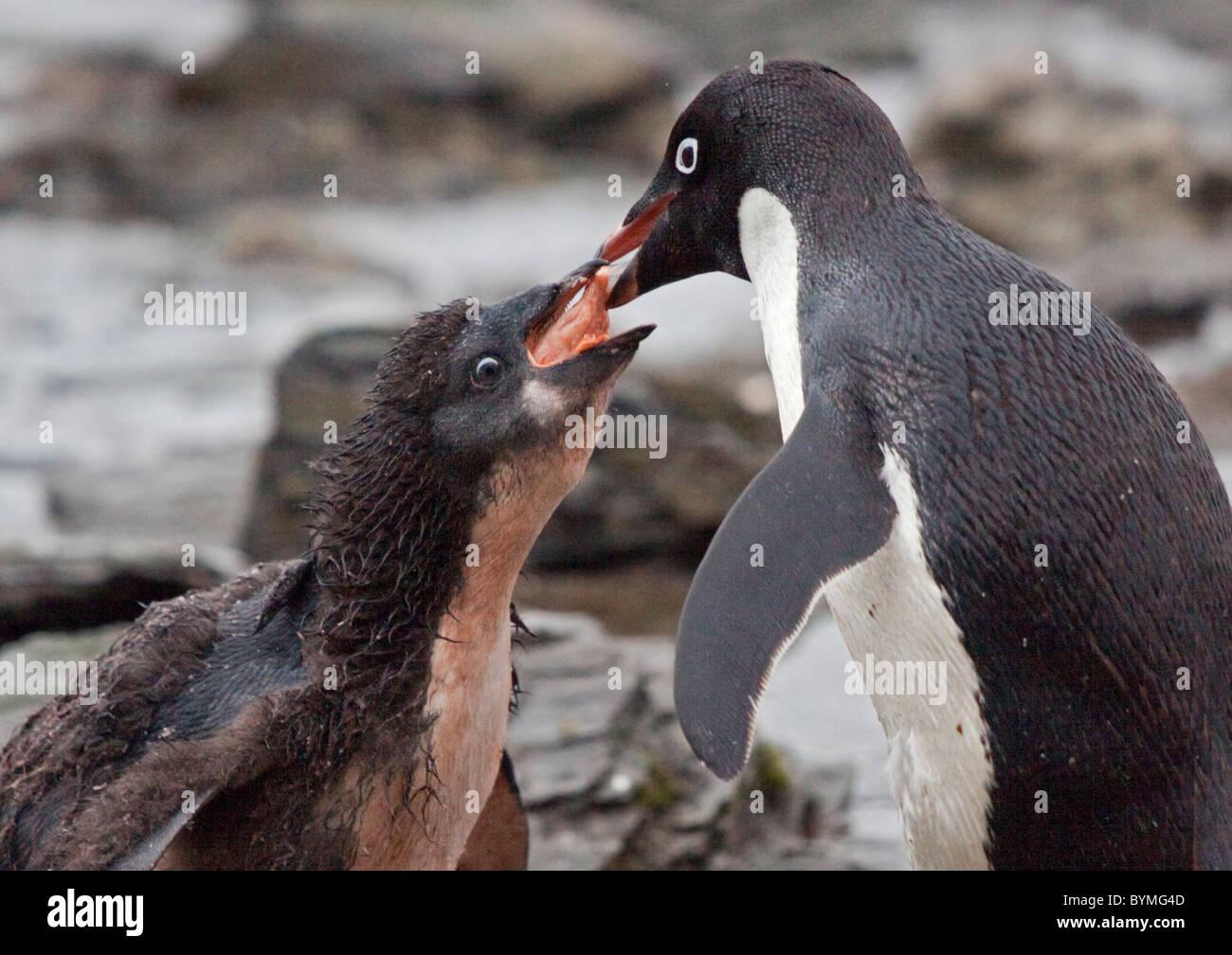 Adelie Penguin (pygoscelis adeliae) feeding Krill to Chick, Shingle Cove, Coronation Island, South Orkneys - Stock Image