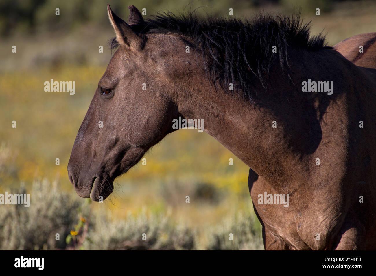 Bay Mustang Stallion Profile - Stock Image