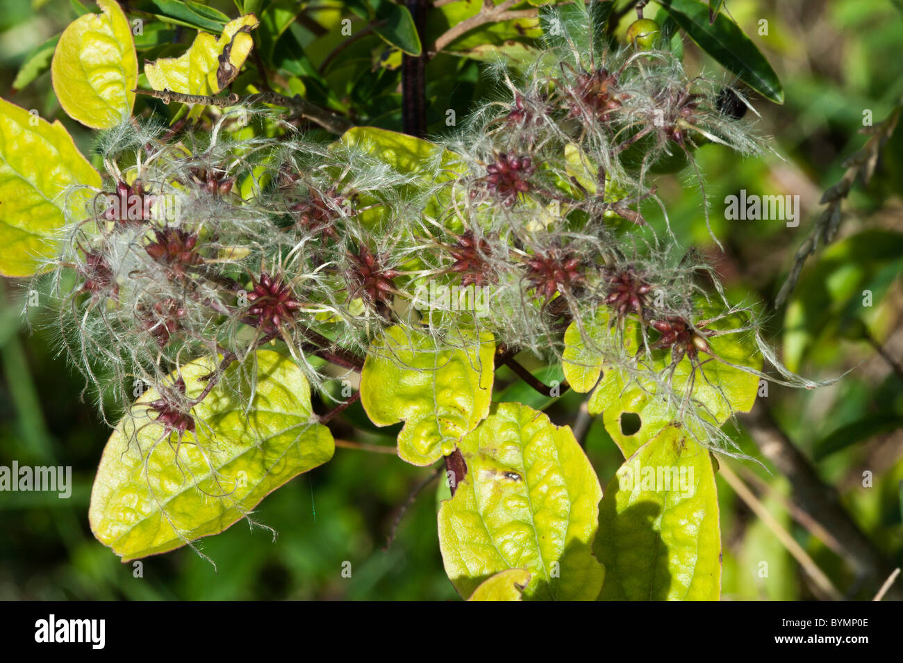 Traveller's-joy or Old Man's Beard (Clematis vitalba), seed heads - Stock Image