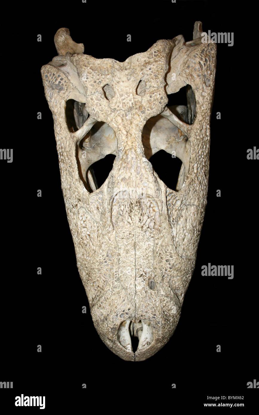 Alligator Skull Stock Photos & Alligator Skull Stock Images - Alamy