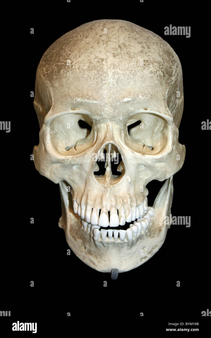 Front View Of A Human Skull Cast Stock Photo