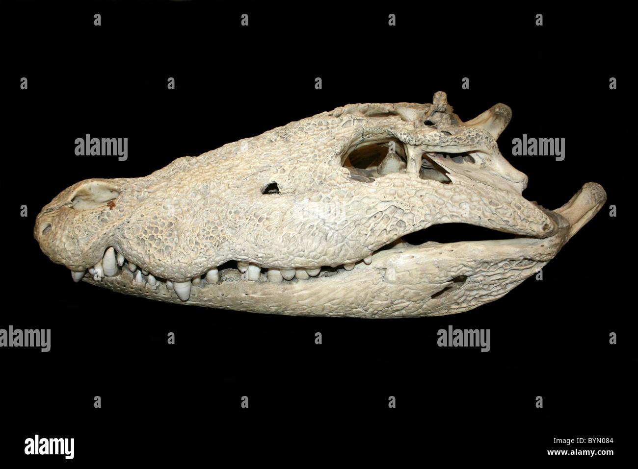 https://c8.alamy.com/comp/BYN084/side-view-of-a-young-nile-crocodile-skull-BYN084.jpg