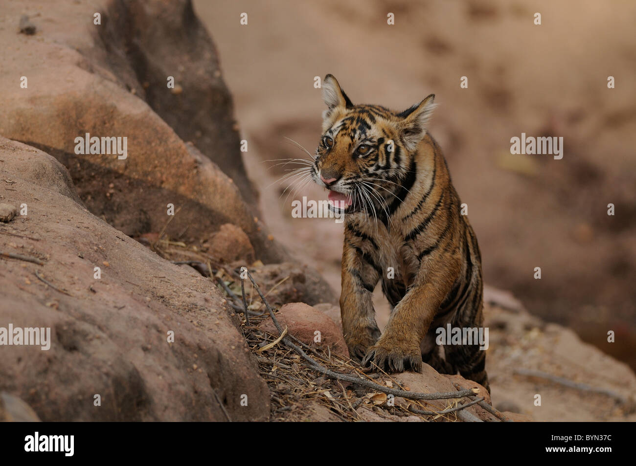 5-month-old Bengal Tiger cub snarling at tourist vehicles at the edge of a waterhole in Bandhavgarh Tiger Reserve, - Stock Image