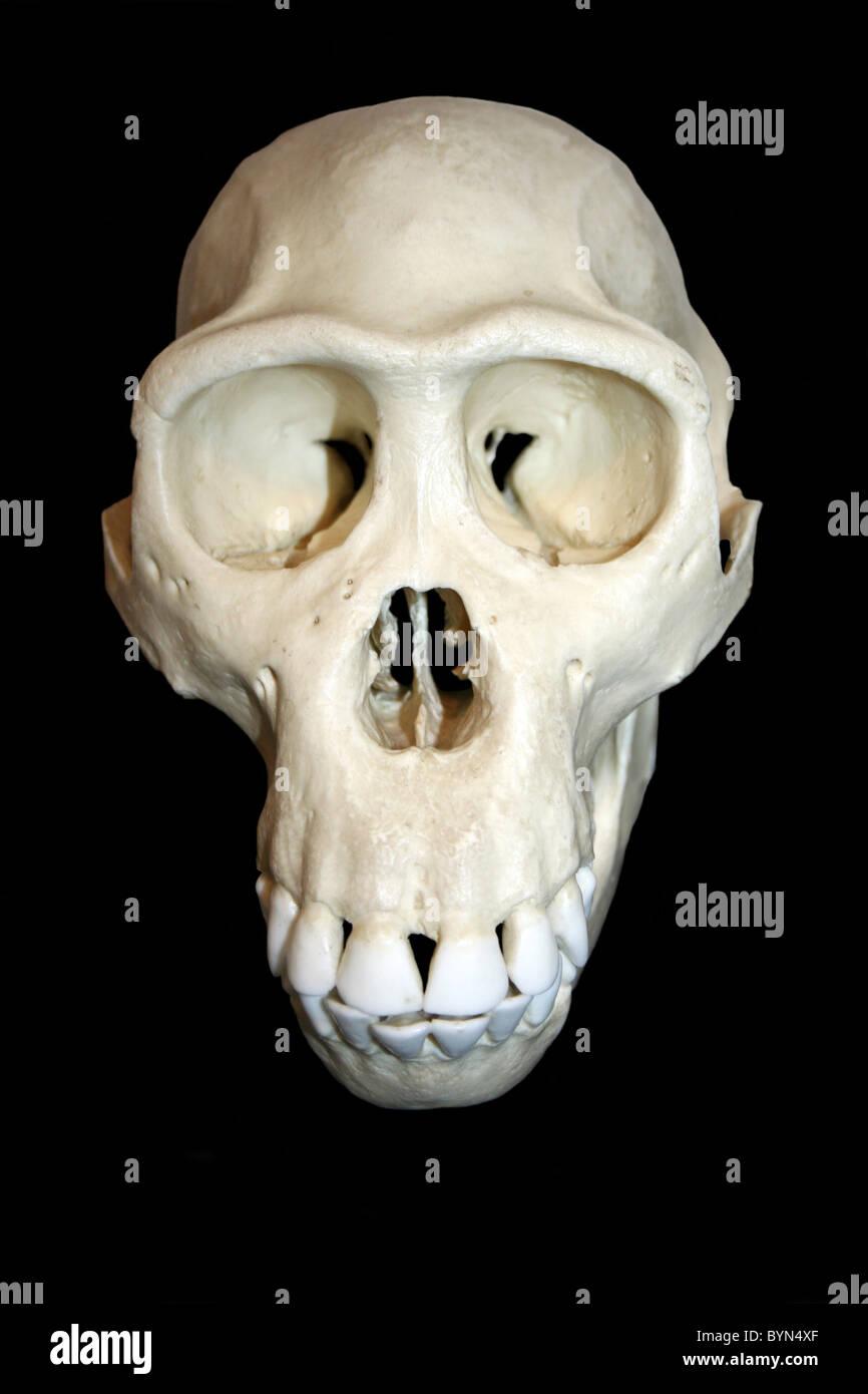 Bonobo Skull Cast Pan paniscus - Stock Image