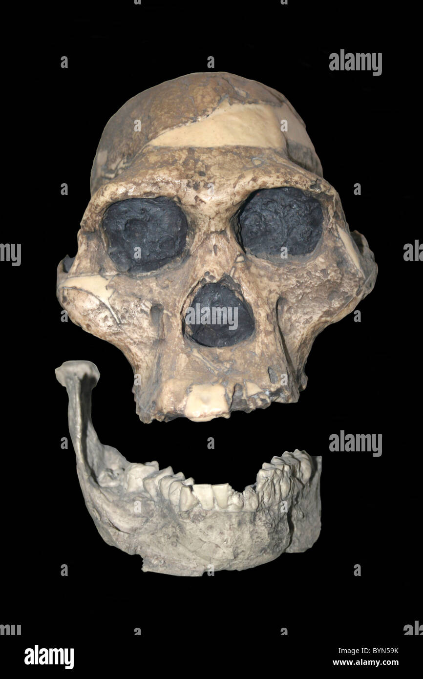 Australopithecus africanus Skull Cast (Mrs Ples) Sterkfontein, Transvaal, South Africa - Stock Image