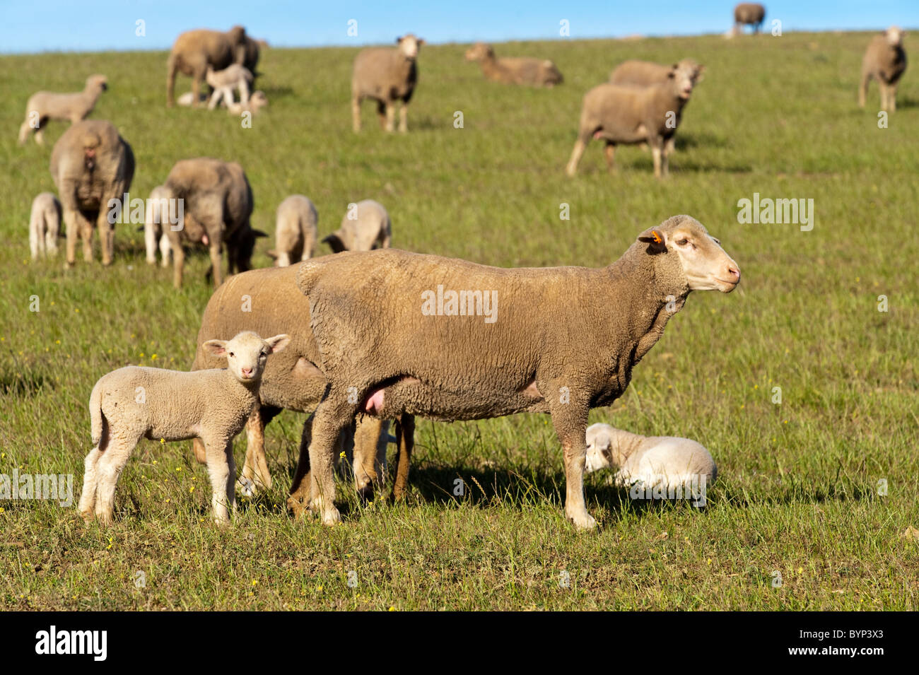 Ewe with lambs in Ouplaas, Western Cape, South Africa - Stock Image
