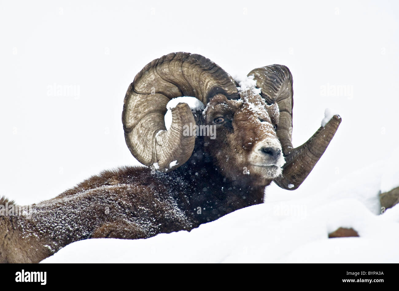 A Bighorn Sheep in the deep snow. - Stock Image