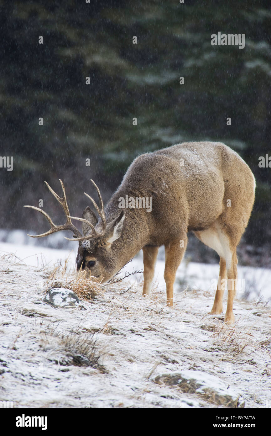 An adult mule deer buck foraging along a hillside in the softly falling snow. - Stock Image