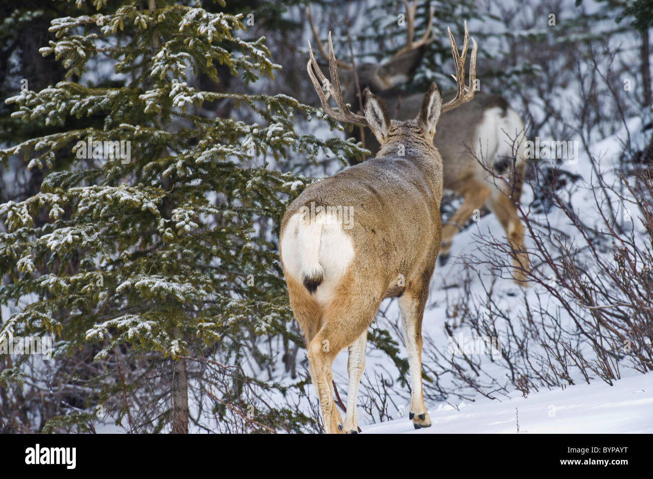 Two adult mule deer bucks walking away through the brush and snow. - Stock Image