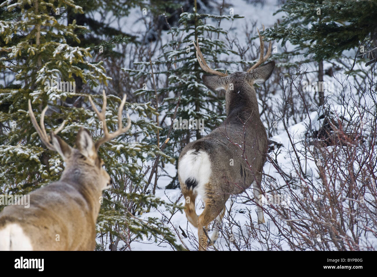 A rear view of two adult mule deer bucks walking away through the brush and snow. - Stock Image