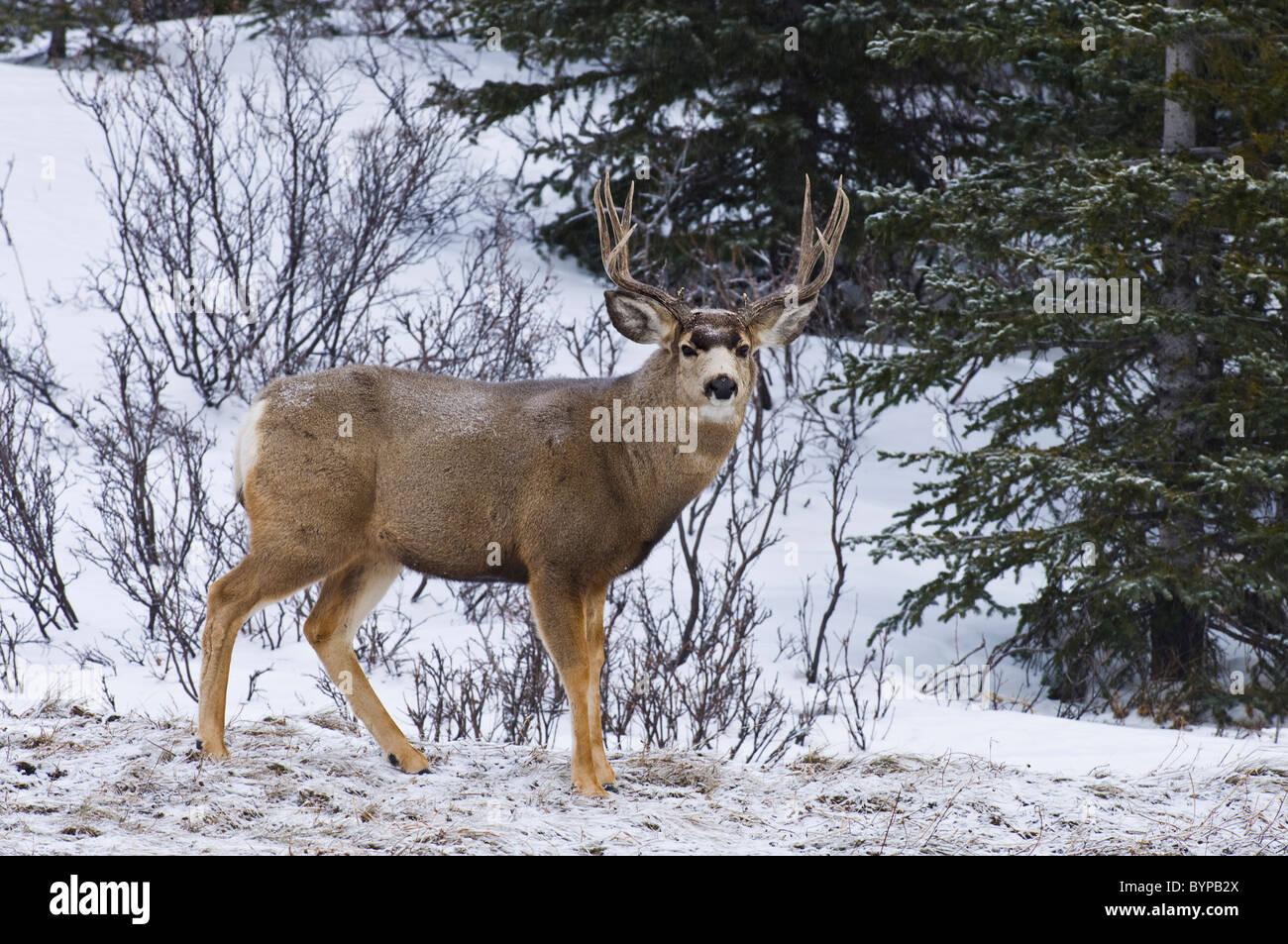A mule deer buck. - Stock Image