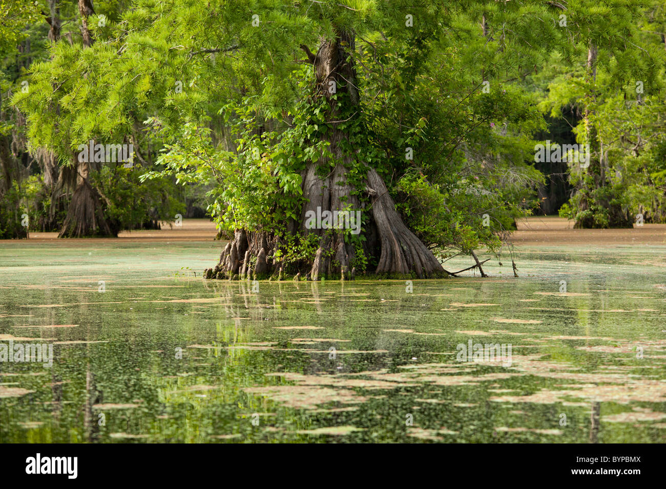 USA, North Carolina, Merchants Millpond State Park, Cypress trees growing in swamp green with duckweed - Stock Image