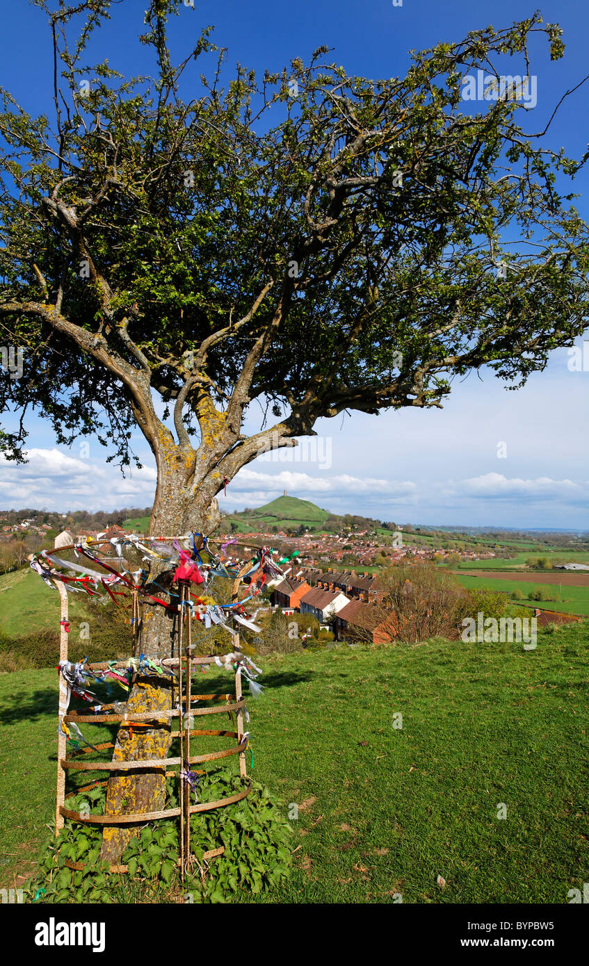 The holy thorn tree on Wearyall Hill with Glastonbury Tor in the distance, Glastonbury, Somerset, England - Stock Image