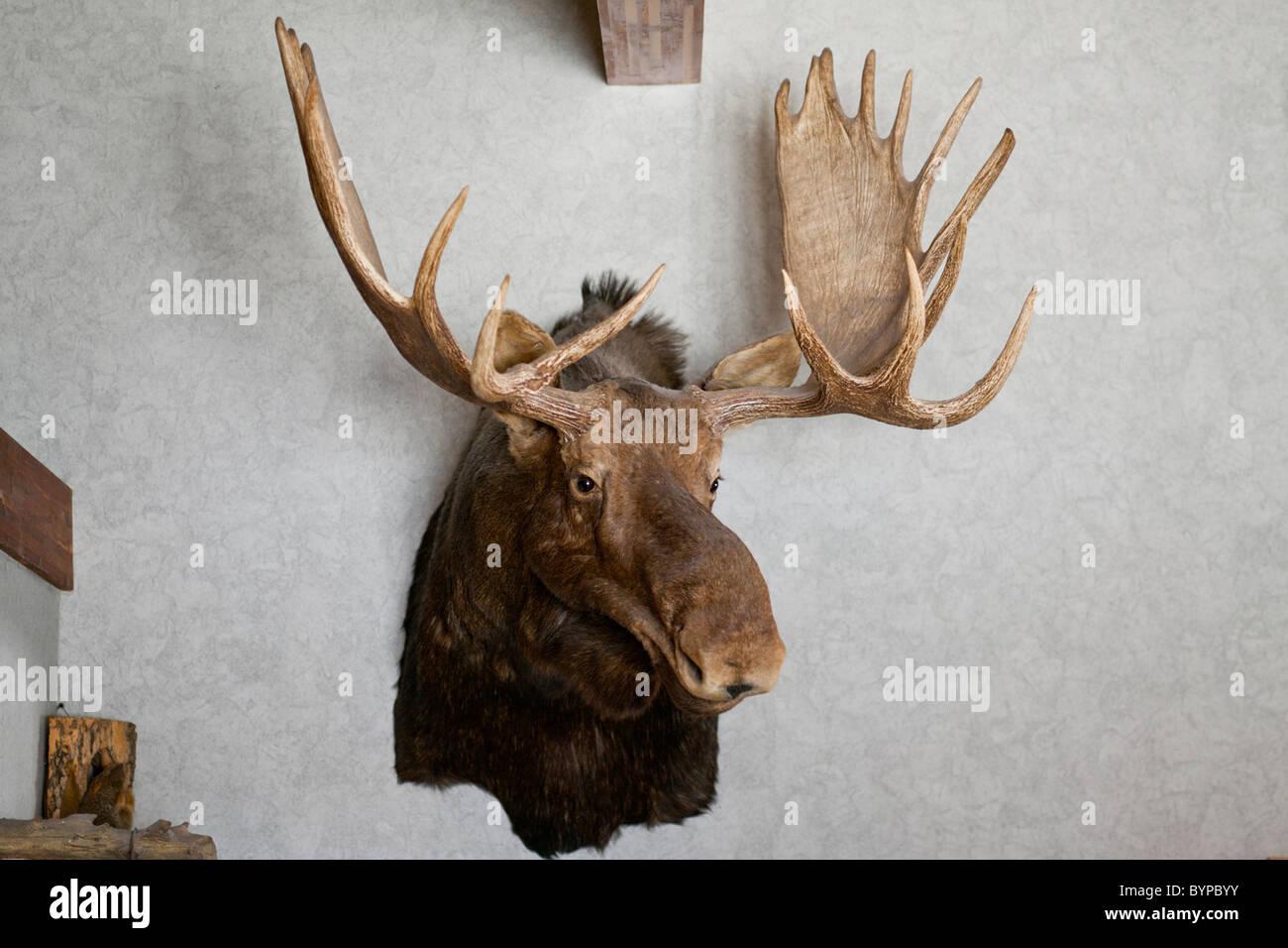 USA, North Dakota, Belfield, Head and antlers of bull moose hanging