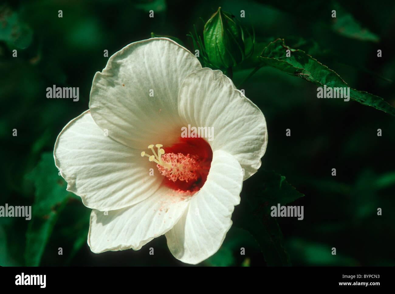 White Flower Of Wild Potato Vine Stock Photo 34299023 Alamy