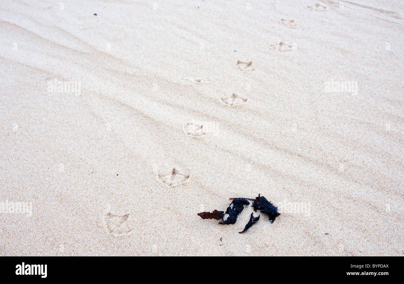 seagull bird tracks in the white sand at the beach - Stock Image