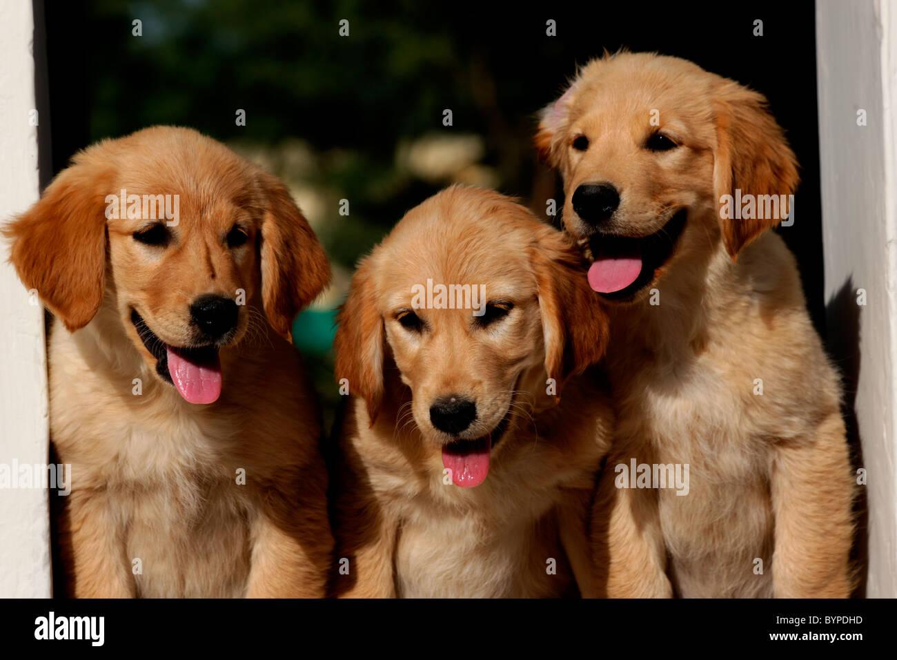 Small Golden Retriever Puppies Stock Photos & Small Golden Retriever