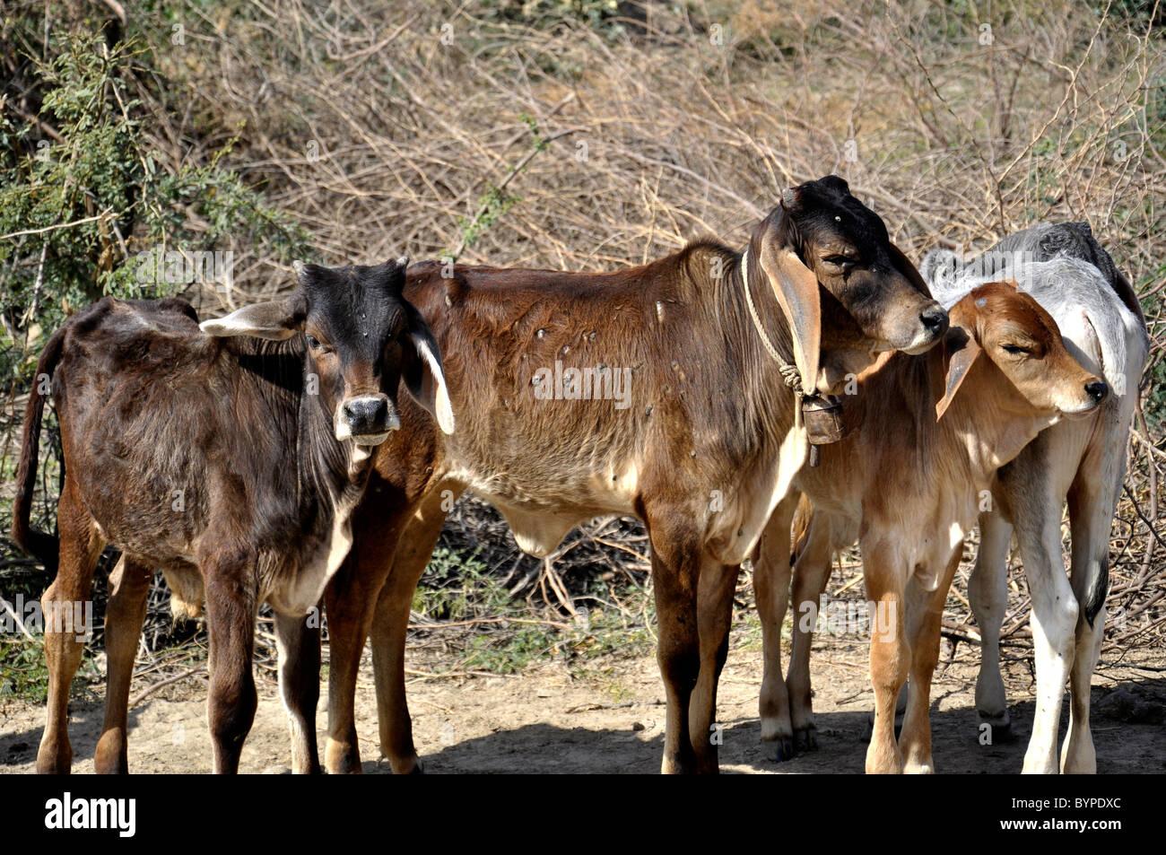 Calf - Stock Image
