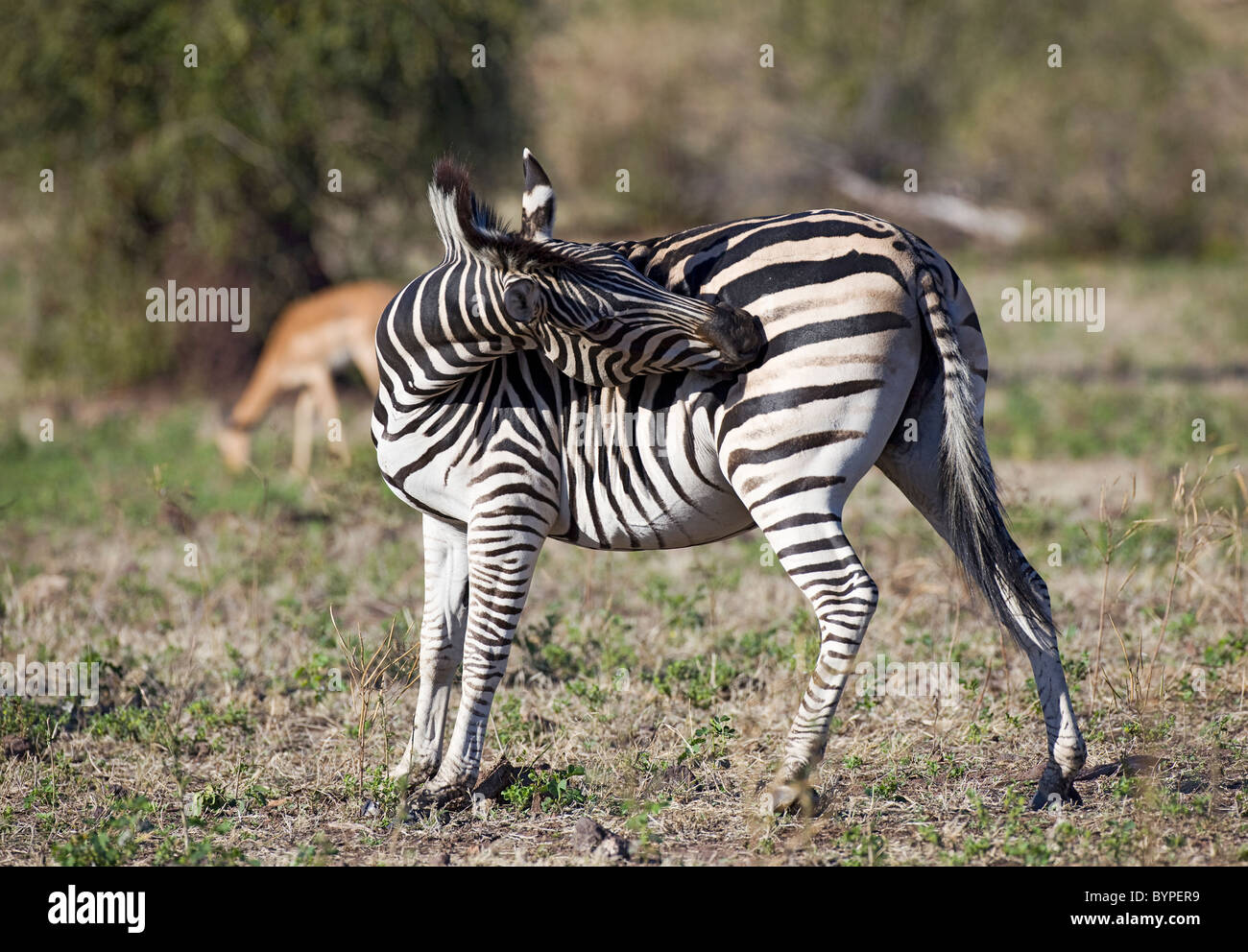African Zebra in South Africa Stock Photo
