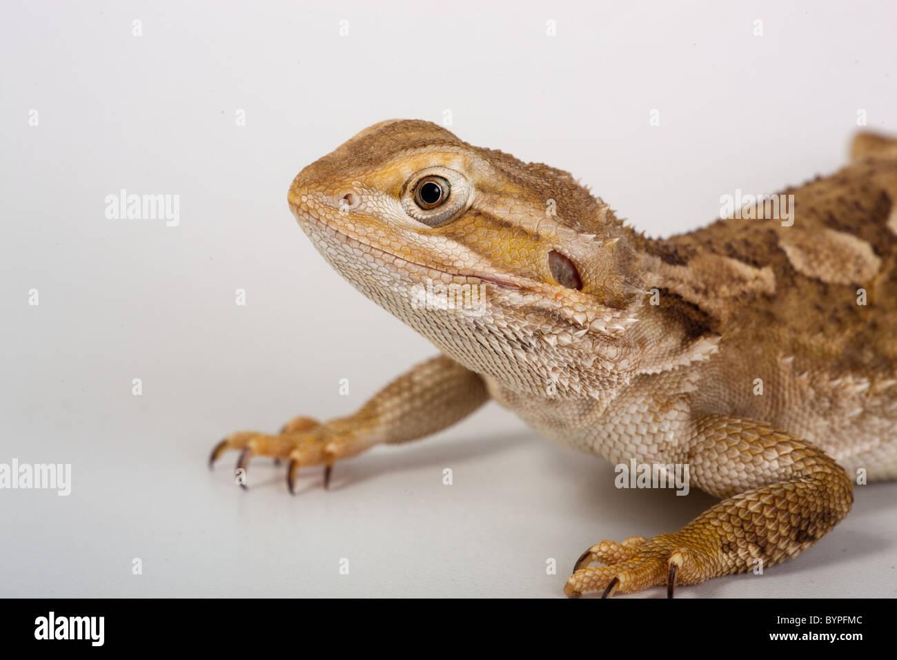 Rankins Dragon Pogona henrylawsoni or Lawsons Dragon - Stock Image