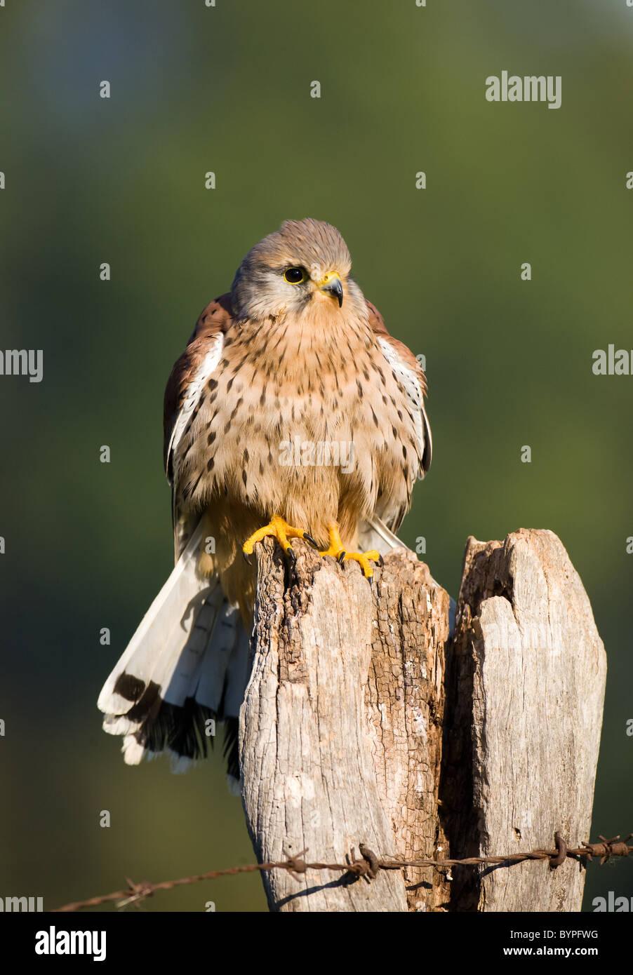 common eurasian kestrel [Falco tinnunculus] germany - Stock Image