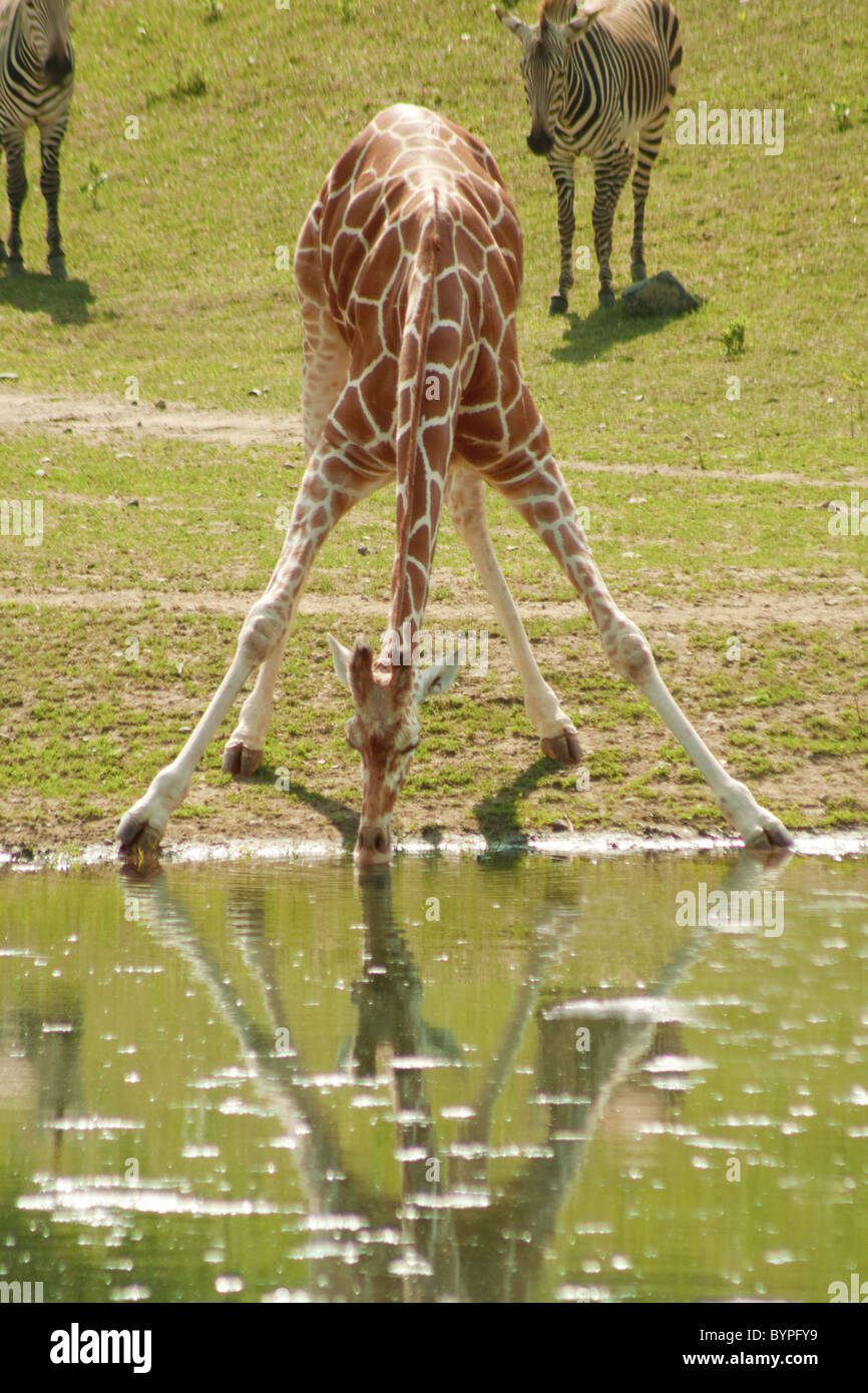 'Everybody's Got Challenges' - for a giraffe, drinking water is a challenge - Stock Image