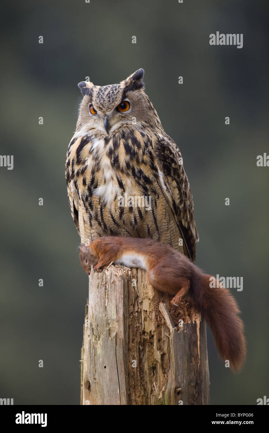 Eurasian eagle owl Bubo bubo, germany bavarian forest - Stock Image