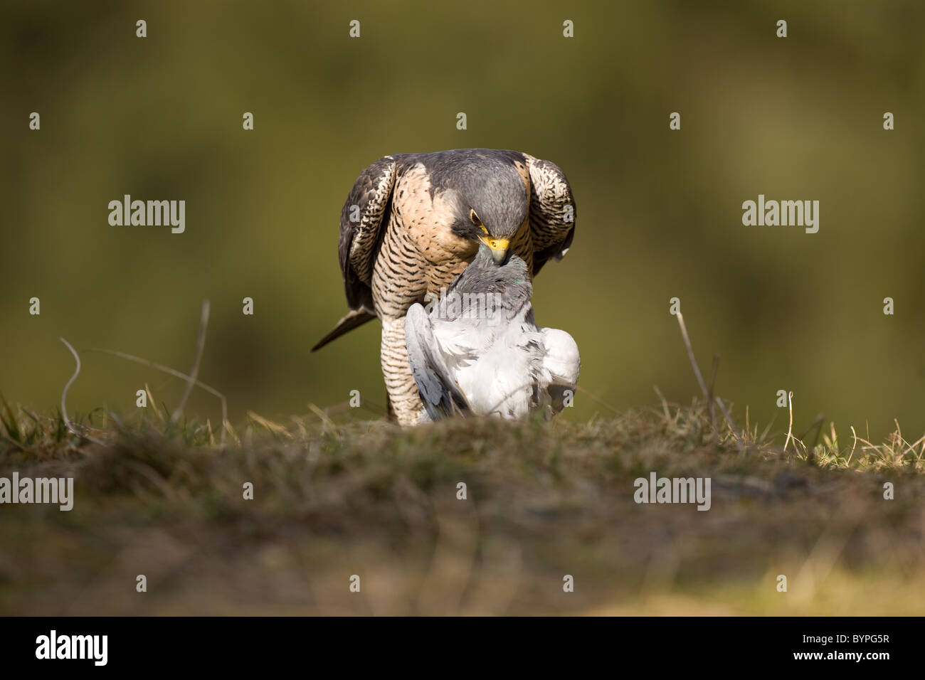 Wanderfalke (Falco peregrinus) rupft Taube - Stock Image