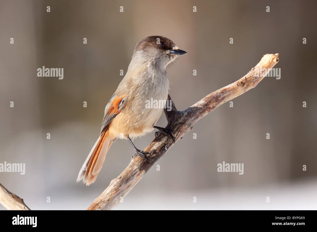 Siberian jay [Perisoreus infaustus] Unglückshäher Hamra Nationalpark, Sweden - Stock Image