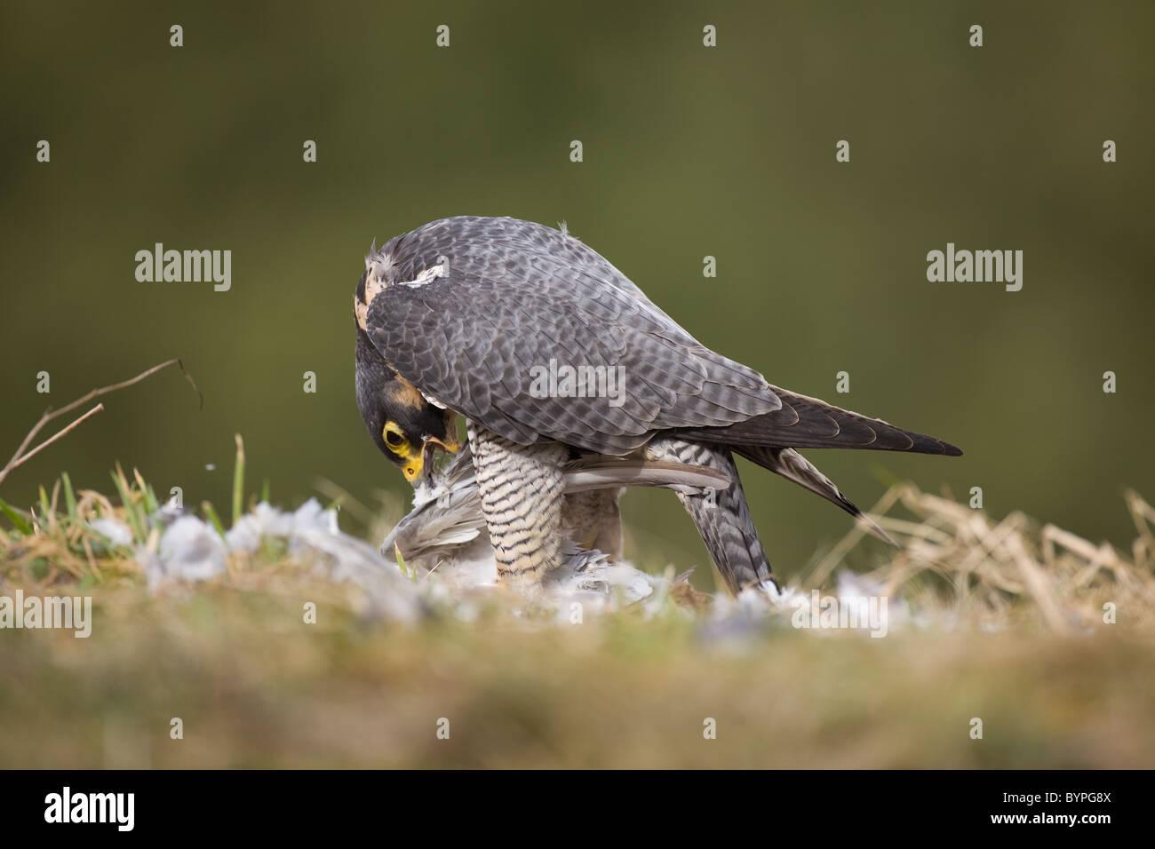 Wanderfalke (Falco peregrinus) rupft Taube, Rheinland-Pfalz, Deutschland, Europa - Stock Image