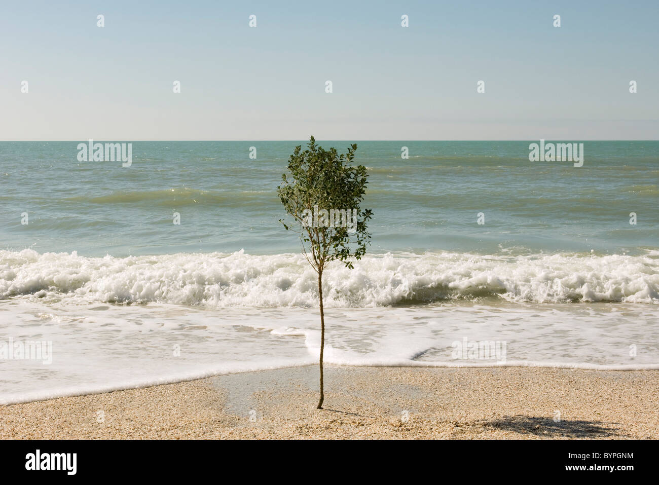 Solitary tree growing on beach near water's edge - Stock Image