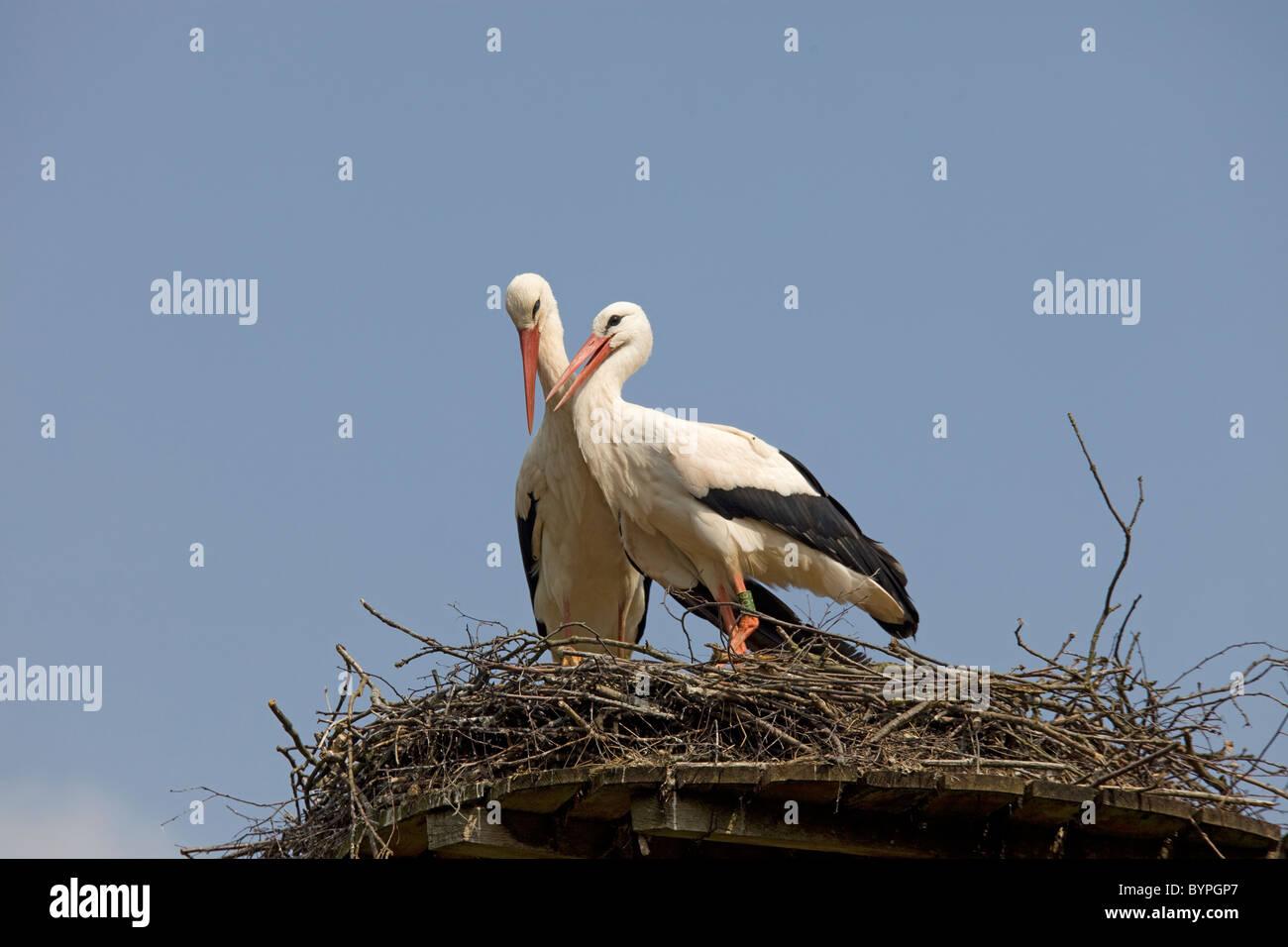 Weißstörche (Ciconia ciconia), auf dem Nest, Nordrhein-Westfalen, Deutschland, Europa Stock Photo