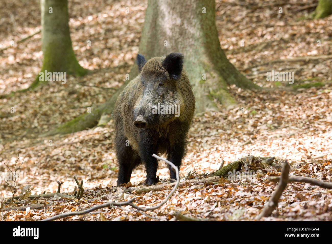 Wildschwein,(Sus scrofa) - Stock Image