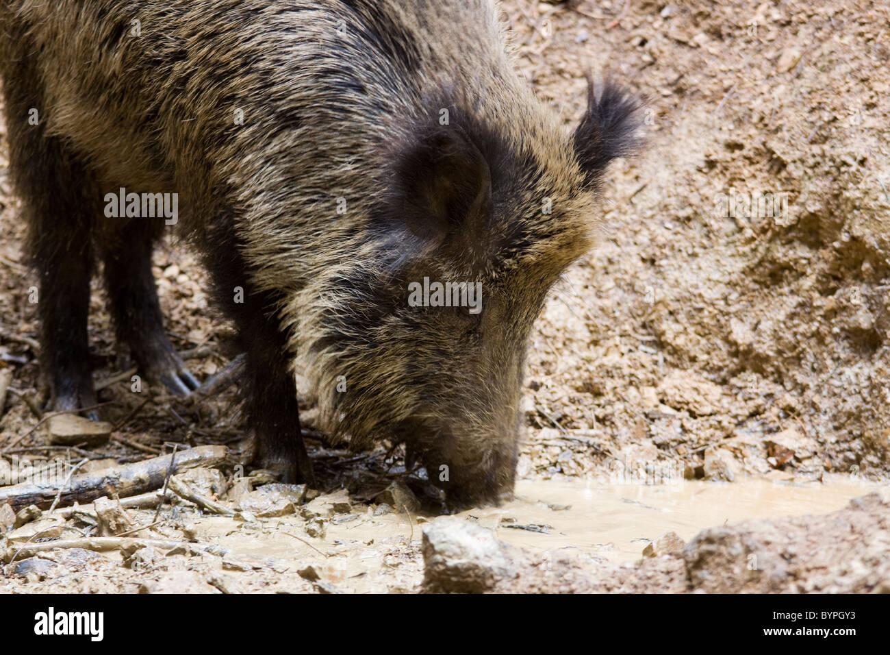 Wildschwein (Sus scrofa) - Stock Image
