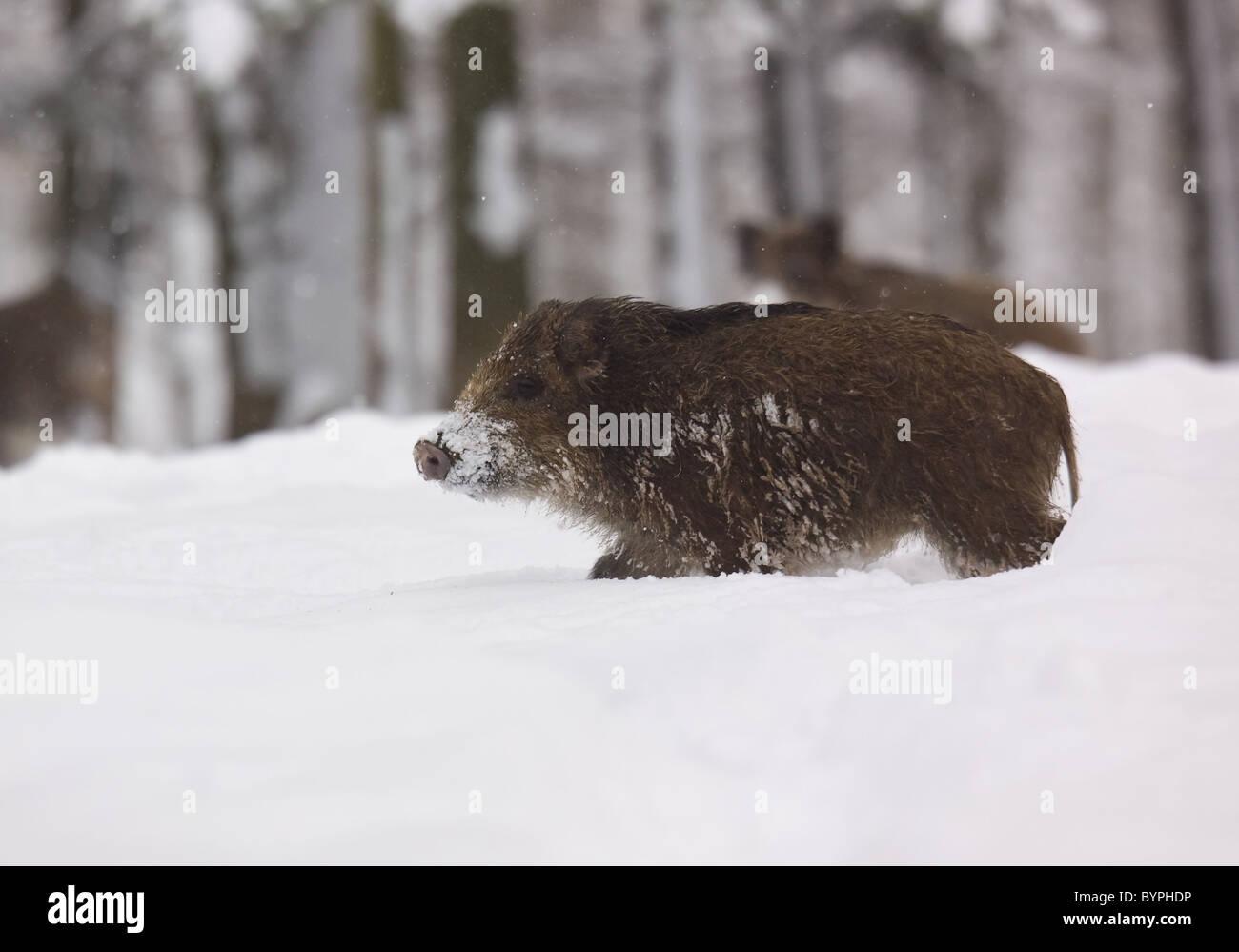 Wildschwein (Sus scrofa) im Winter, Vulkaneifel, Rheinland-Pfalz, Deutschland, Europa - Stock Image