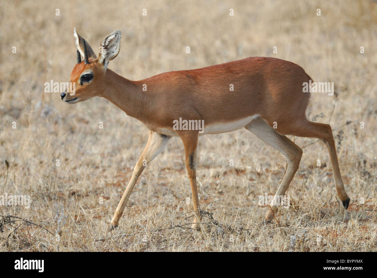 Male Steenbok in Kruger National Park, South Africa - Stock Image
