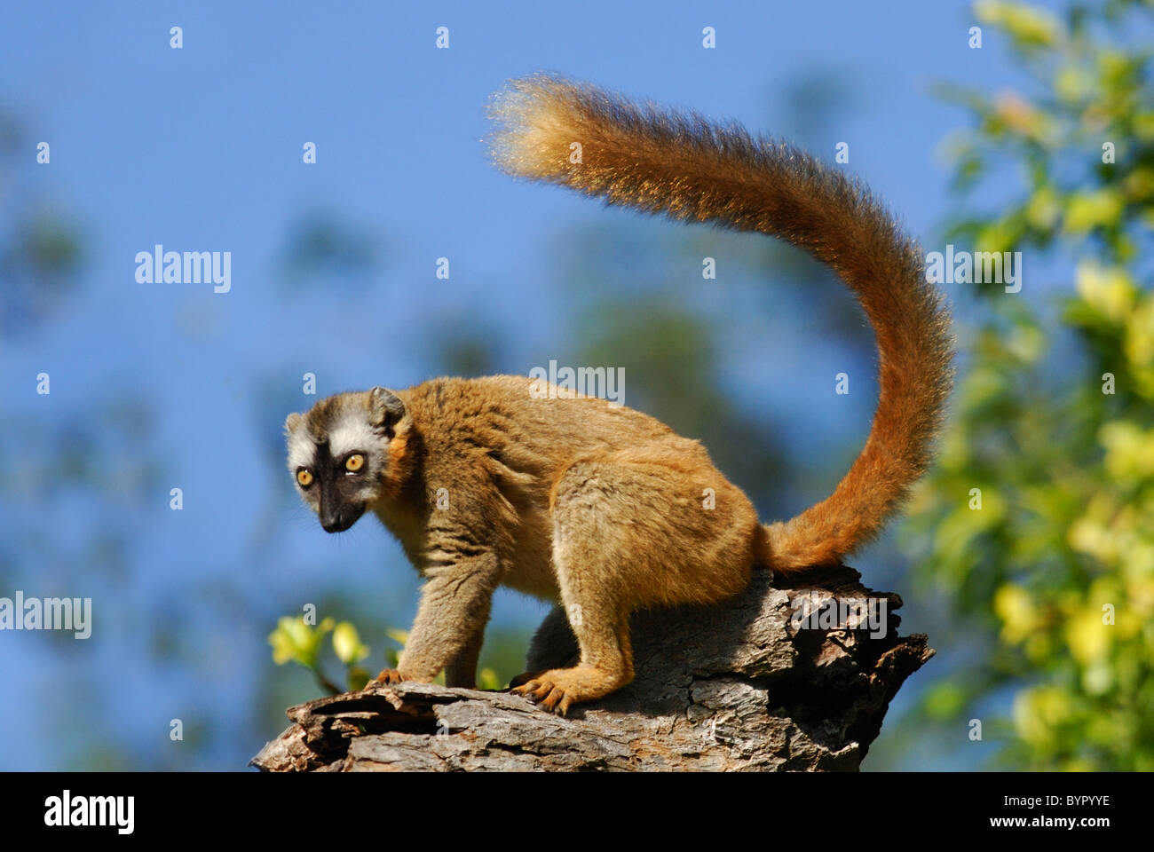 Red-fronted Brown Lemur (Eulemur rufus) in the Berenty Nature Reserve, southern Madagascar - Stock Image
