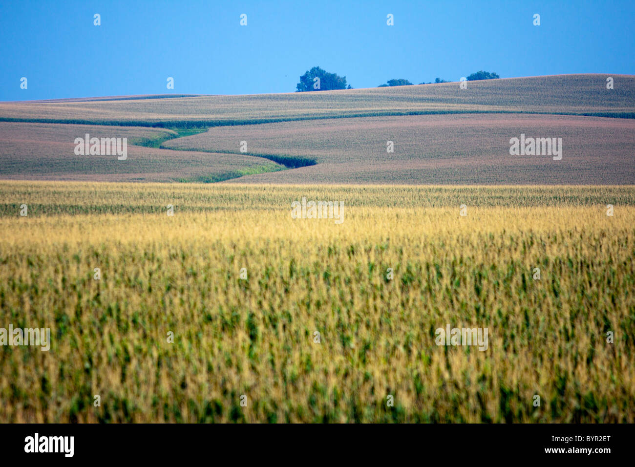 A summer corn field on the rolling plains of Central Illinois. - Stock Image