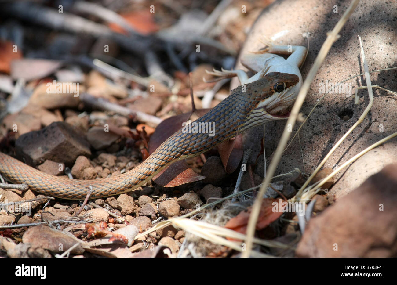 Sand Snake with Lizard - Stock Image